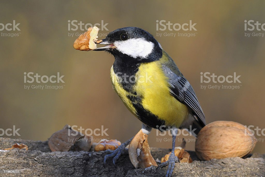 great tit with nut royalty-free stock photo
