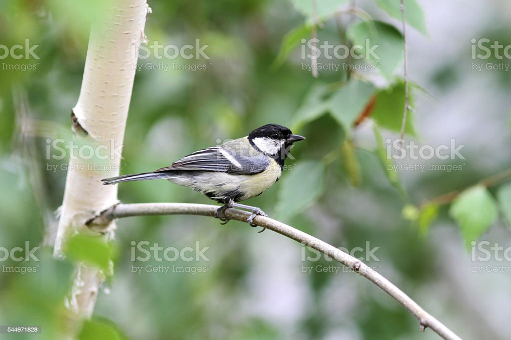 Great titmouse nestling bird sitting on a branch stock photo