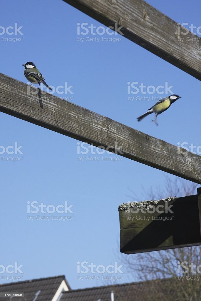 great  titmouse stock photo
