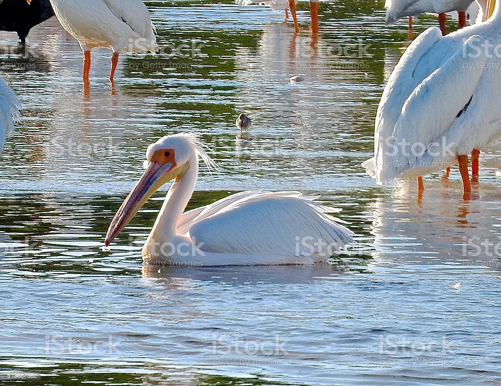 Great White African Pelican.. stock photo