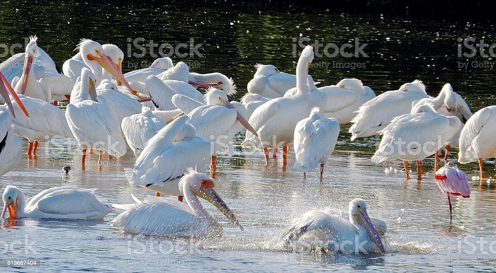 Great White African Pelican... stock photo