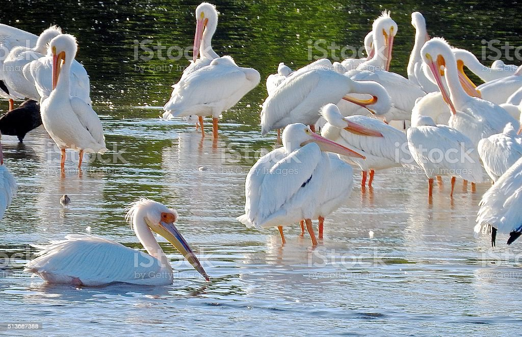 Great White Aftrican Pelican.. stock photo