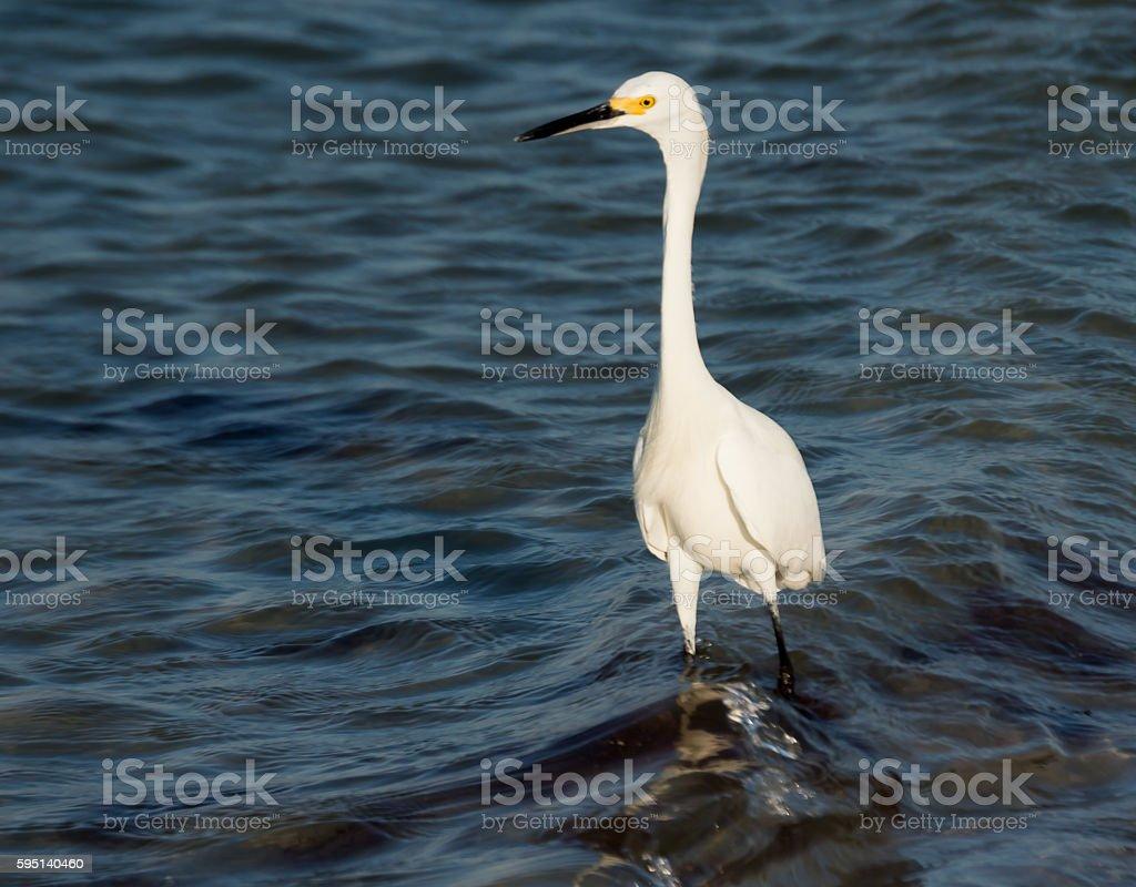 Great White Egret Ardea Alba Fort Myers Florida stock photo