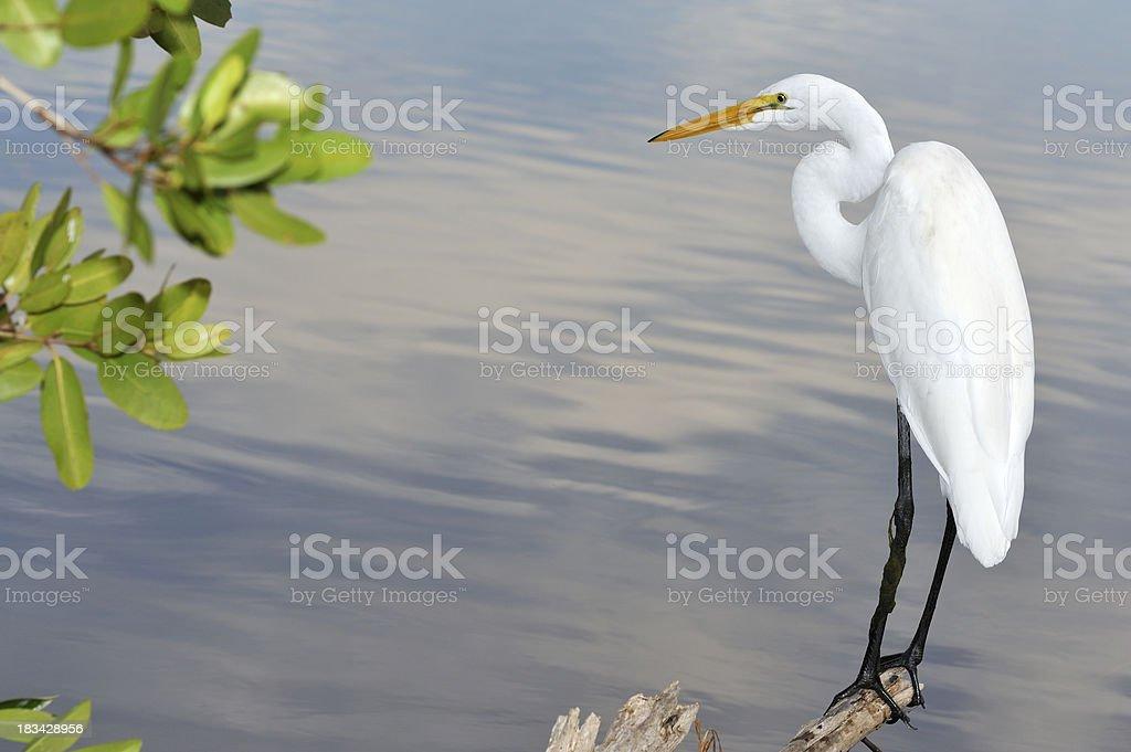 Great white egret, beautiful bird in Florida stock photo