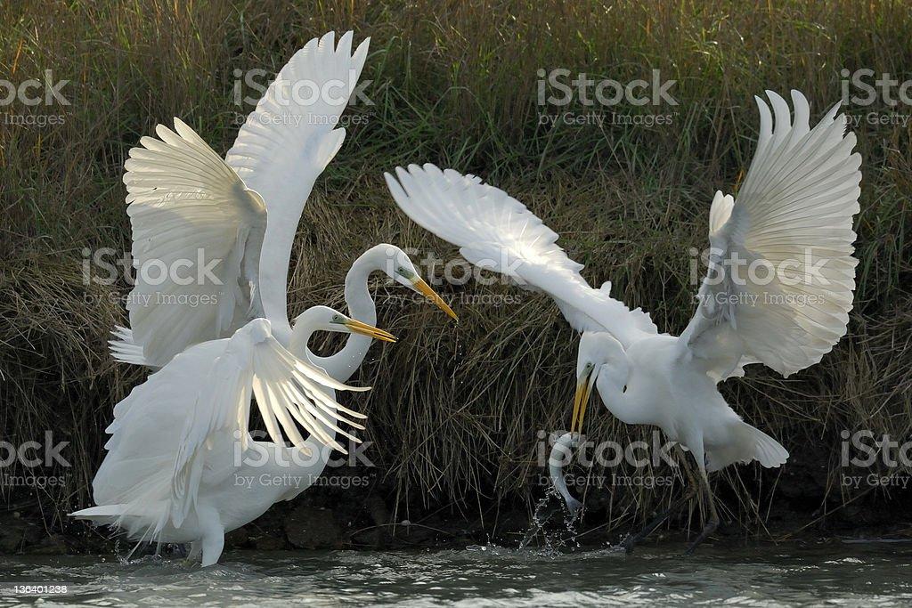 Great White Egret, Egretta alba stock photo