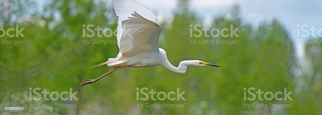 Great white egret flying over a canal in spring stock photo