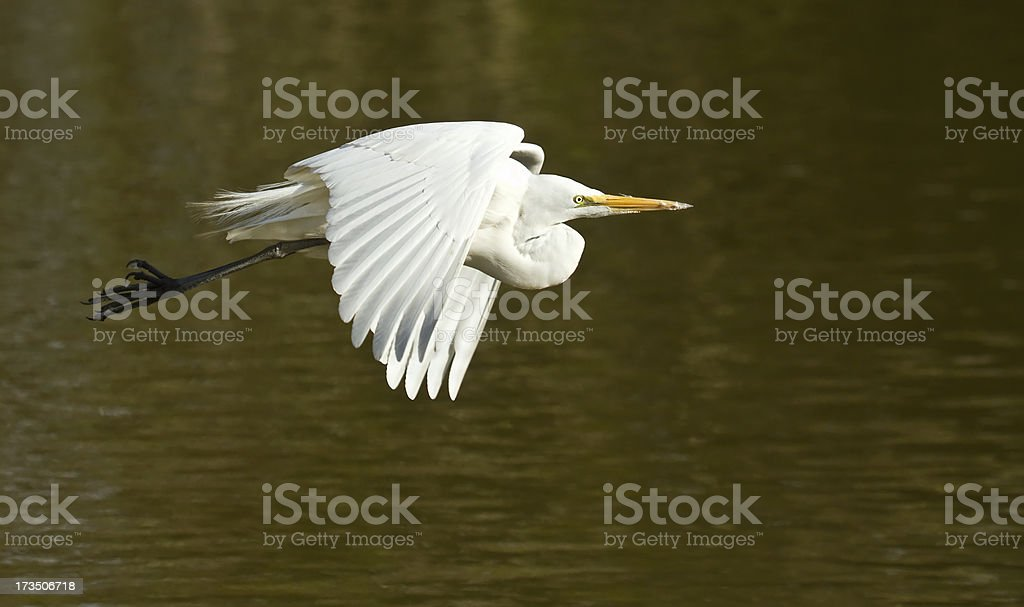 Great White Egret Flying Over A Lake royalty-free stock photo