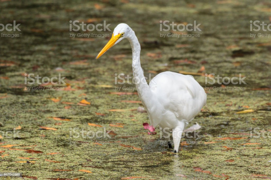 Great White Egret Hunting in a Florida Swamp stock photo