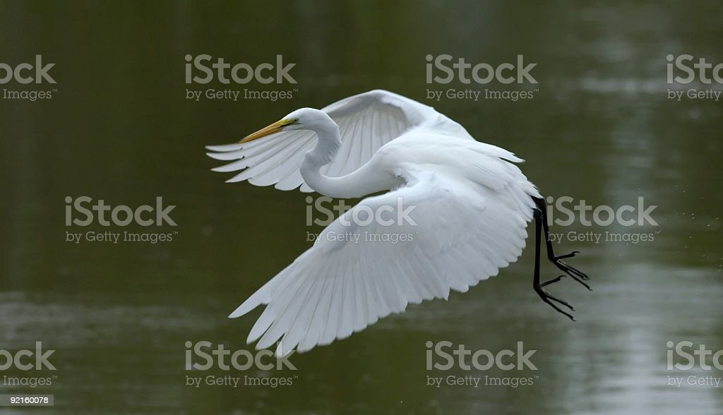 great white egret in flight over wetland royalty-free stock photo
