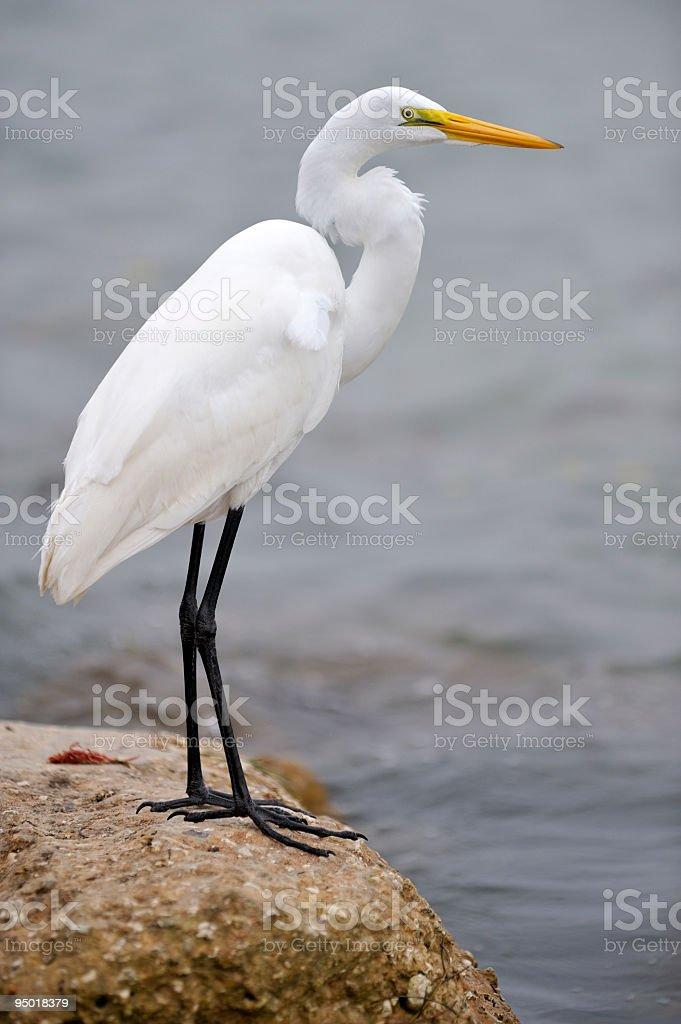 Great White Egret in Florida stock photo