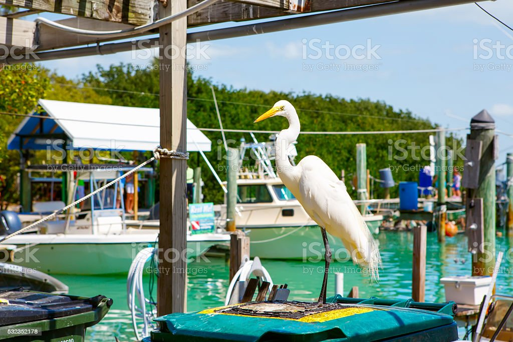 great white egret in Islamorada, Florida Keys stock photo