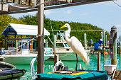 great white egret in Islamorada, Florida Keys