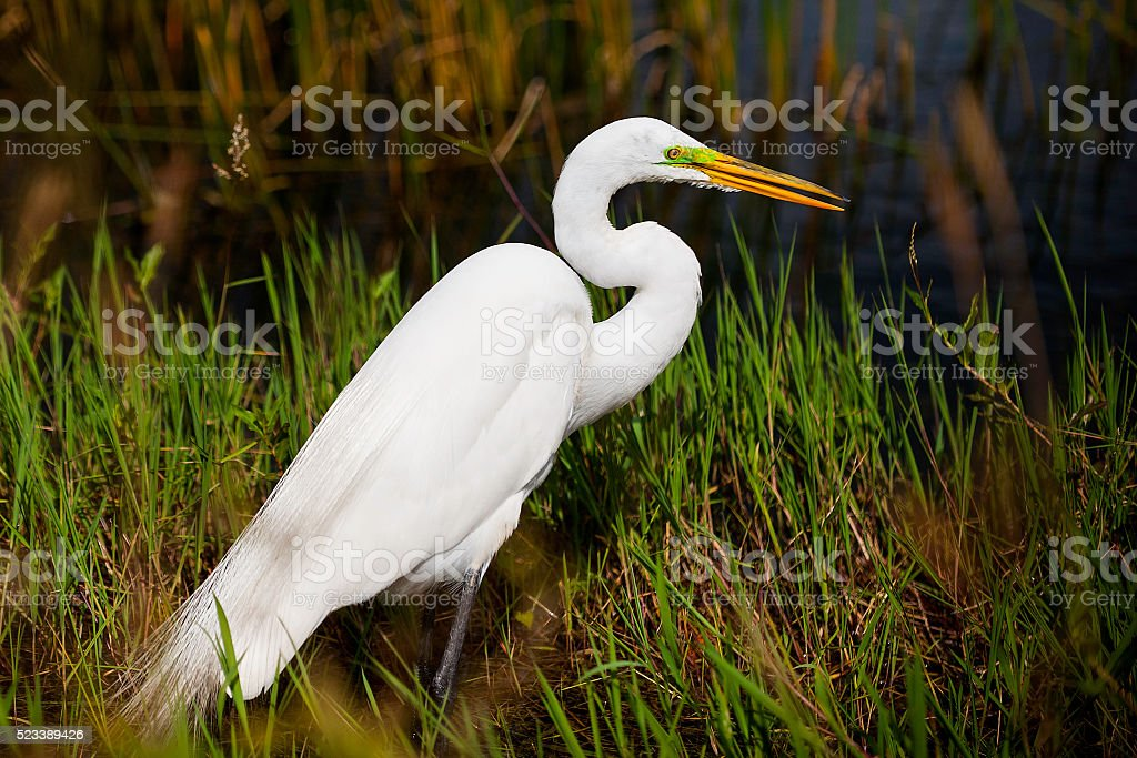 Great white egret in wetland stock photo