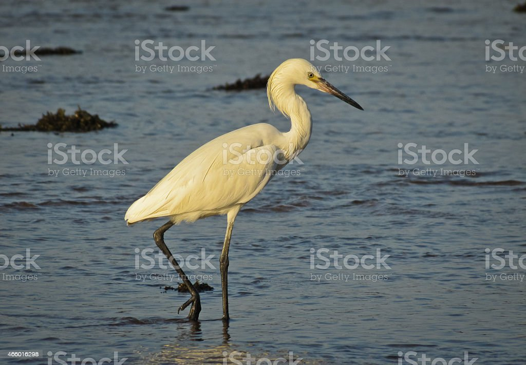 Great White Egret, Pacific shores of El Salvador, stock photo
