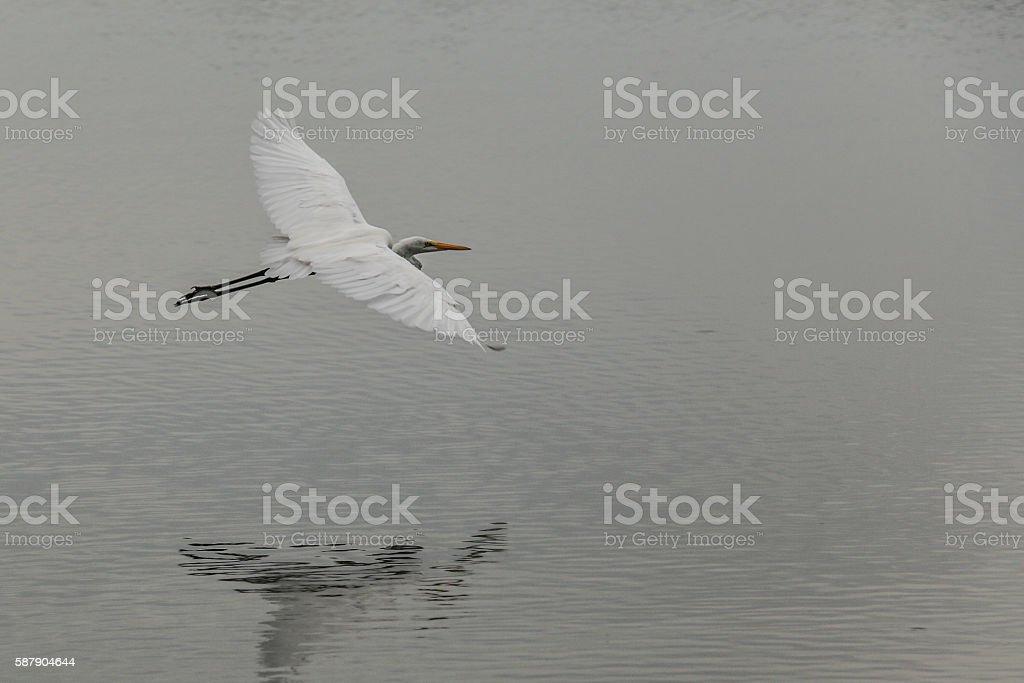 Great White Egret stock photo