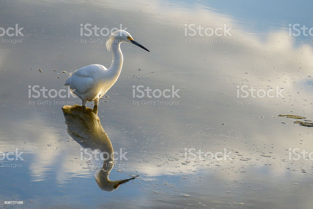 Great White Egret Reflectin stock photo
