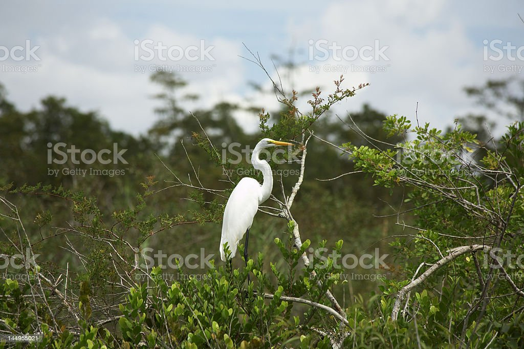 Great white Egret resting on a tree branch stock photo