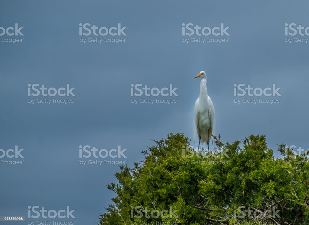 Great White Egret With Breeding Plumage, Hilton Head, SC stock photo