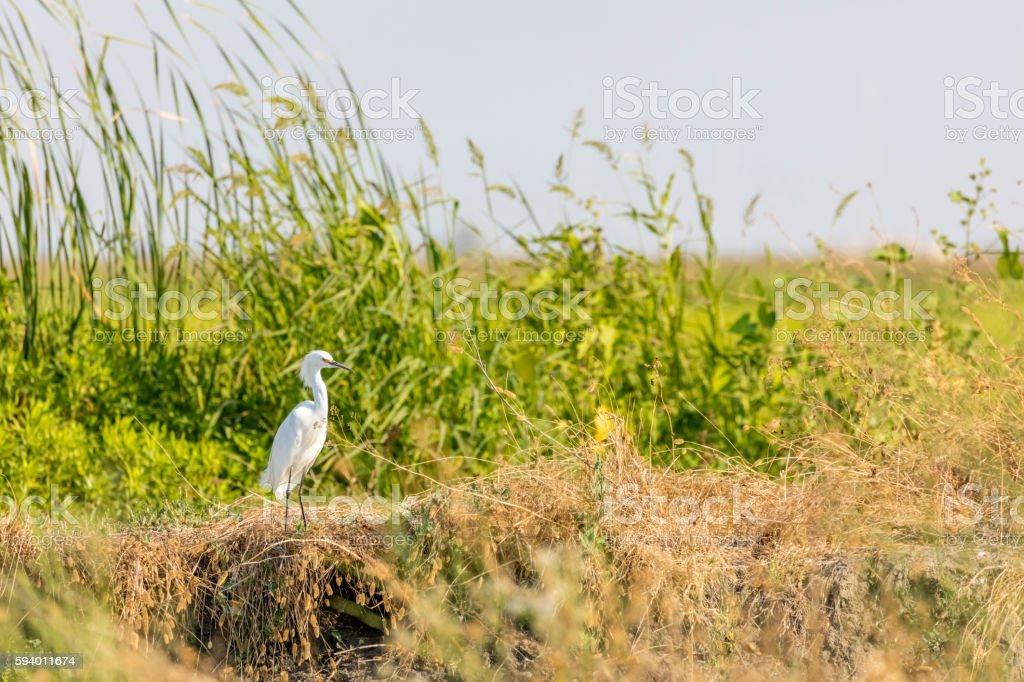 Great White Heron at Yolo bypass Wildlife Area stock photo