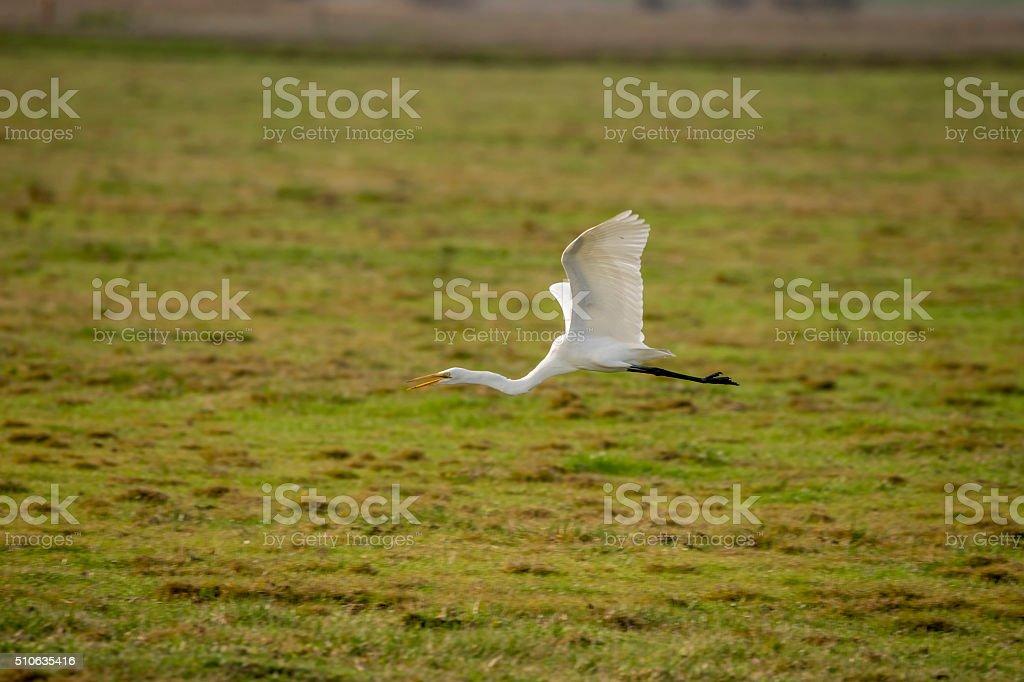 Great White Heron flying at Merced National Wildlife Refuge,  California stock photo