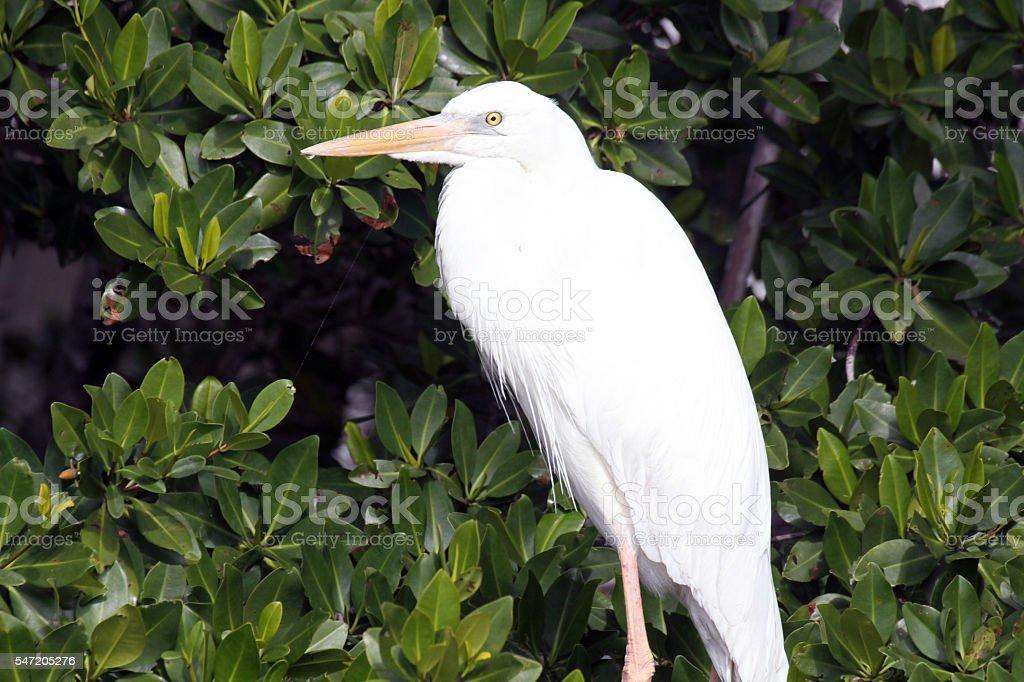Great White Heron in Mangrove stock photo
