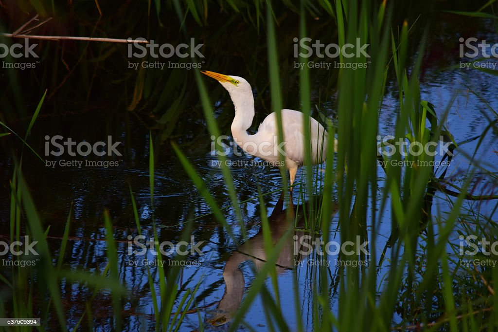 Great White Heron in Reeds Eating Fish stock photo