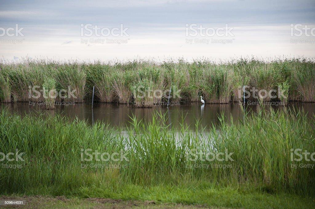 great white heron on the lake stock photo
