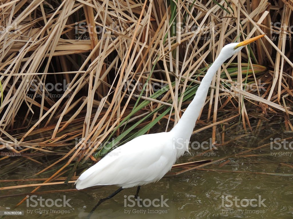 Great White Heron or Great Egret wading through the water stock photo