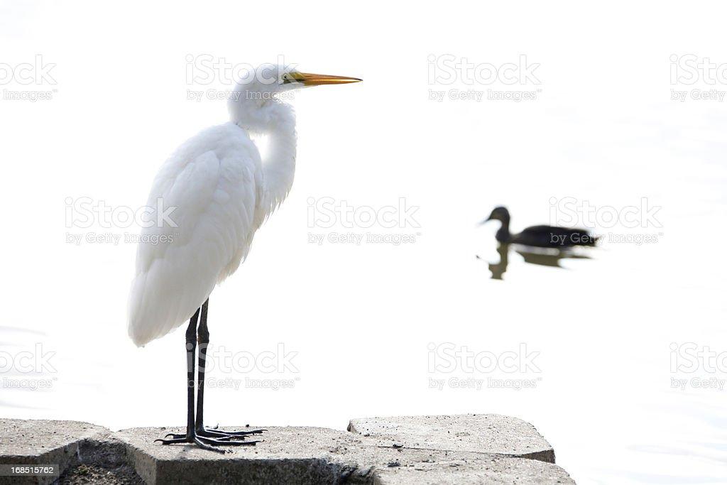 Great White Heron stock photo