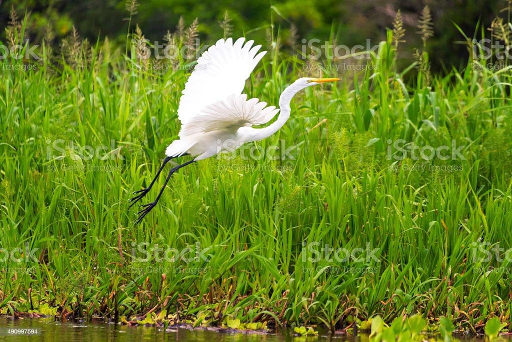 Great White Heron Takeoff stock photo