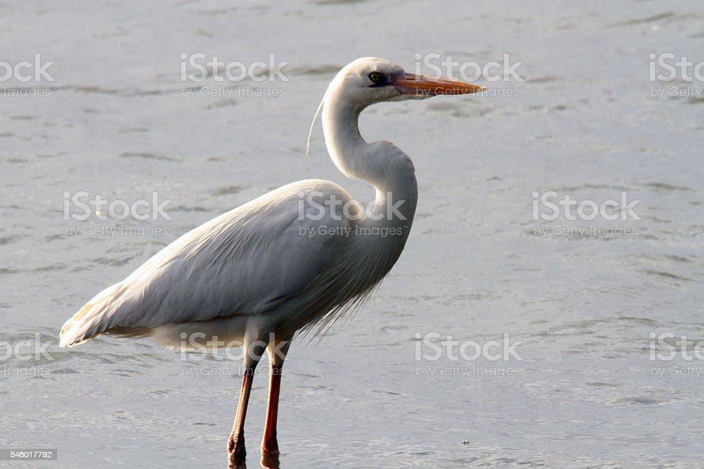 Great White Heron Wading stock photo