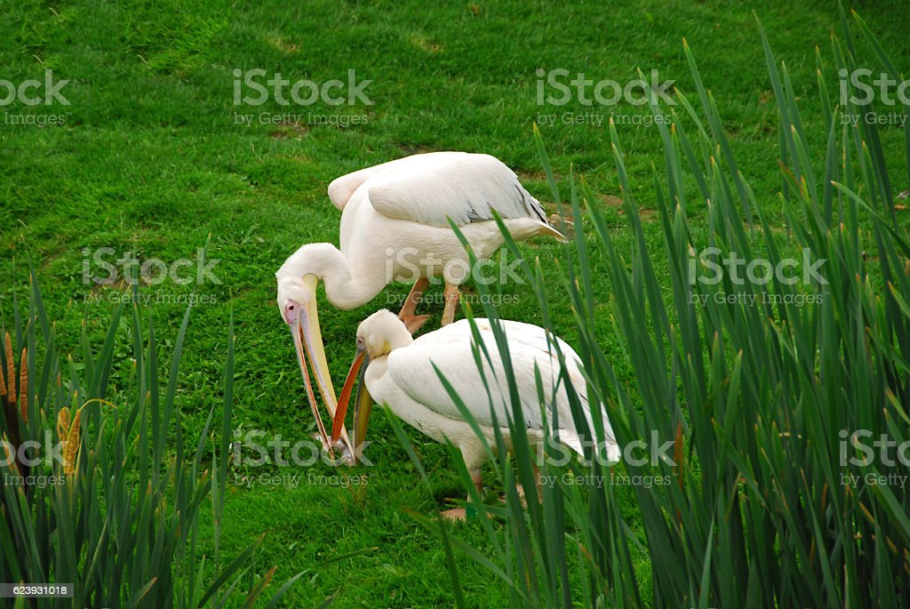 Great White Pelican catching together one Fish. stock photo