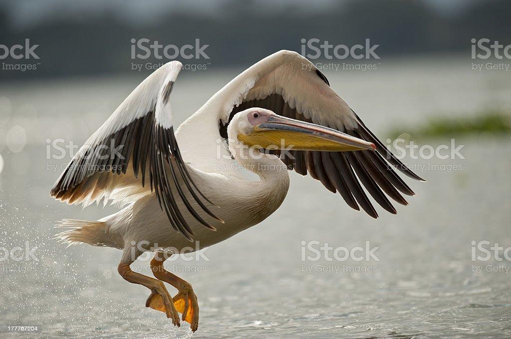 Great White Pelican Flying on Naivasha Lake stock photo