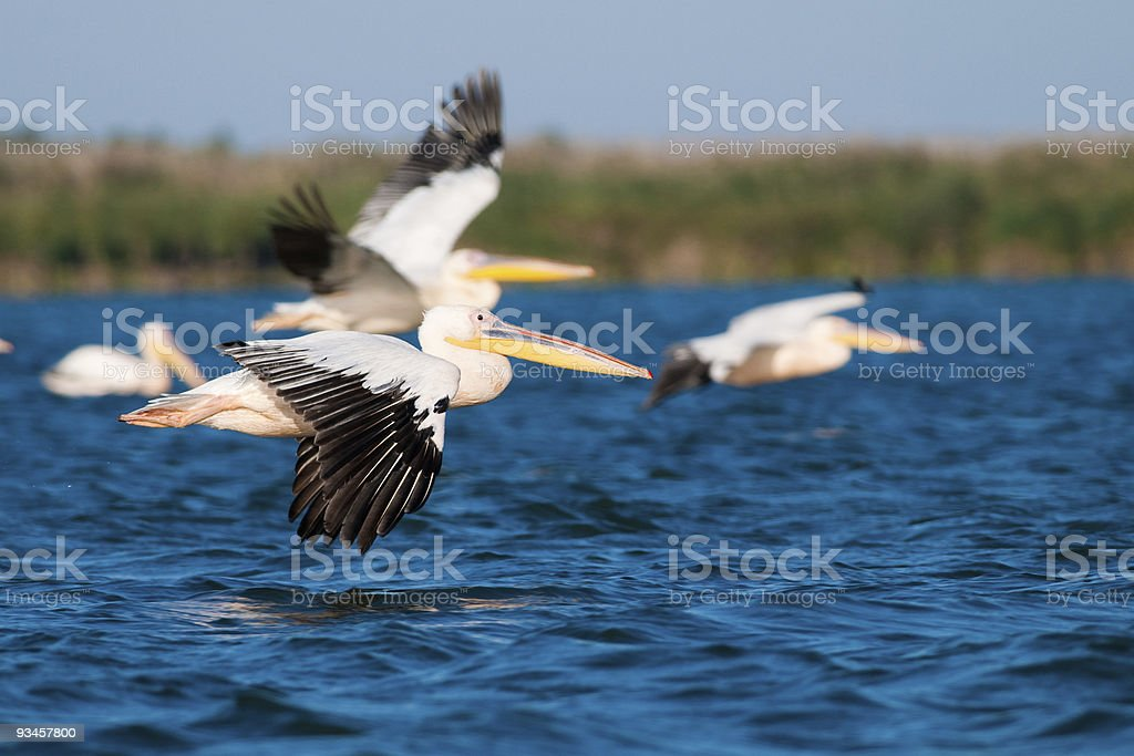 Great White Pelican in flight royalty-free stock photo
