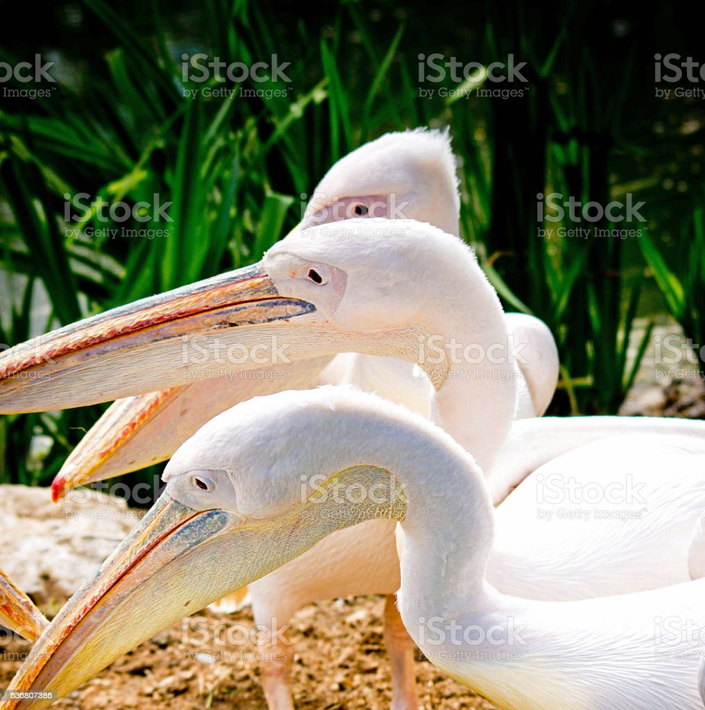 Great white pelicans fighting stock photo