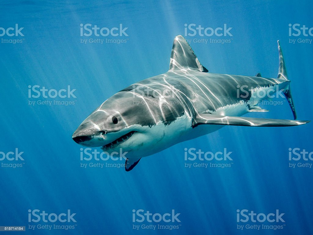 Great white shark and big blue ocean stock photo