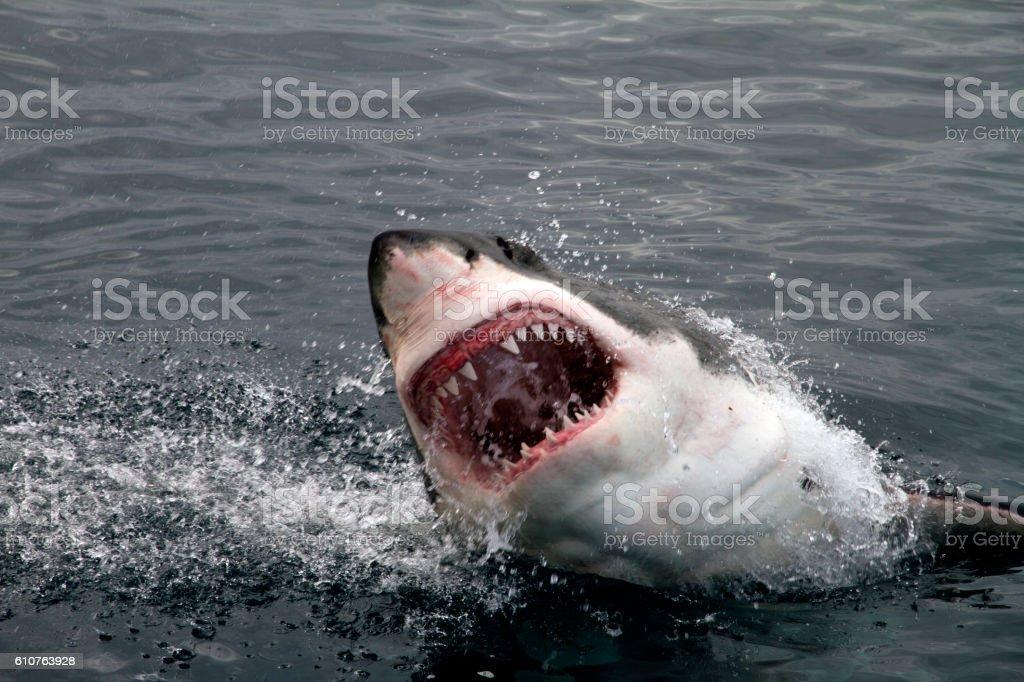 Great White Shark attacking stock photo