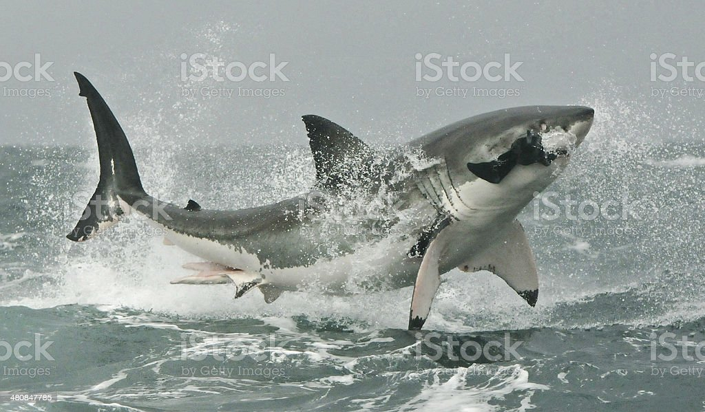 Great White shark breaching on seal decoy. stock photo