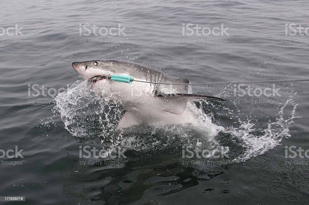 Great White Shark breaching royalty-free stock photo