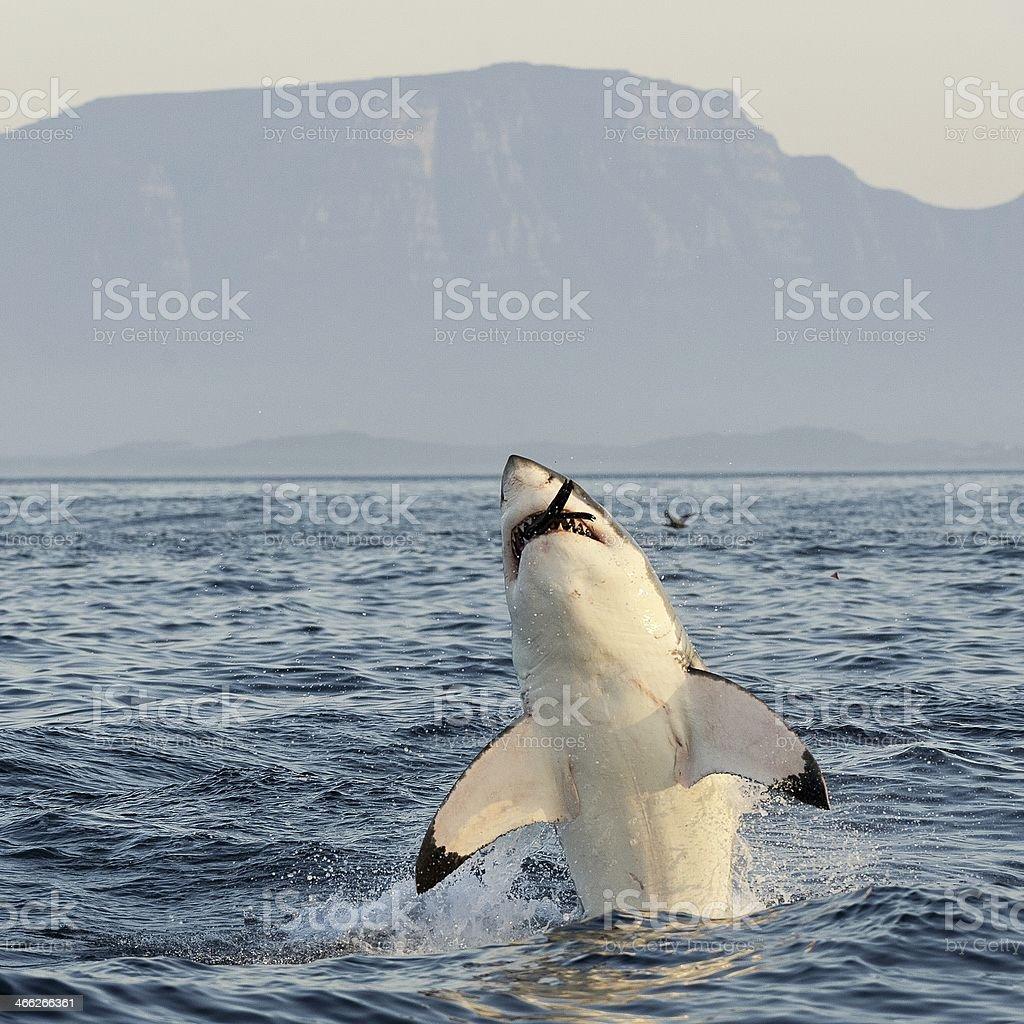 Great White Shark  breaching stock photo