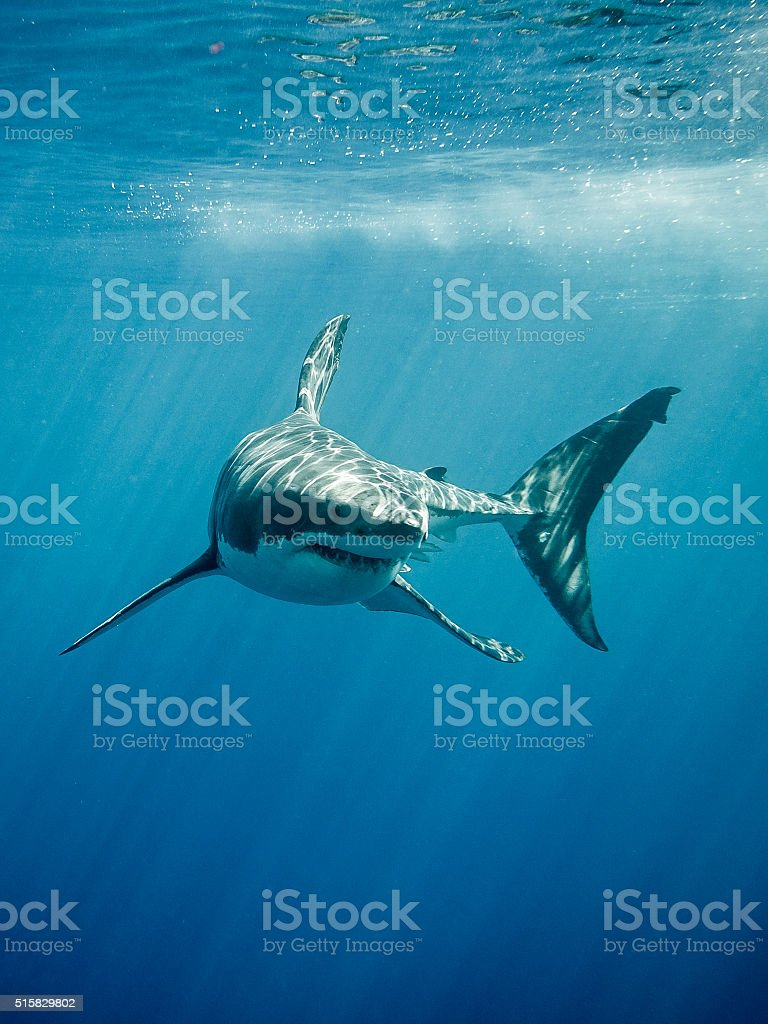 Great white shark fings and teeth stock photo