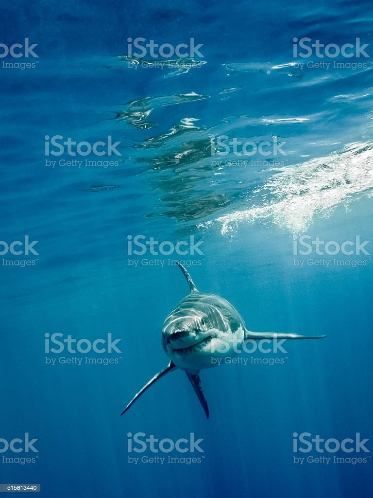 Great white shark four fings stock photo