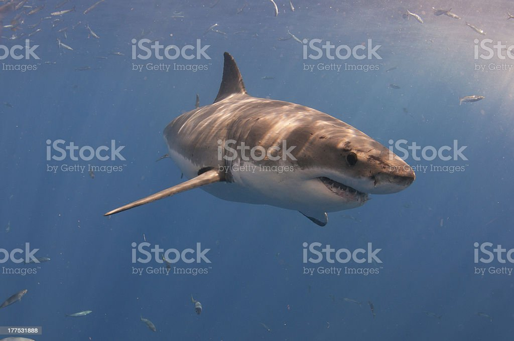 Great white shark in chum plume, Guedelupe Island, Mexico stock photo
