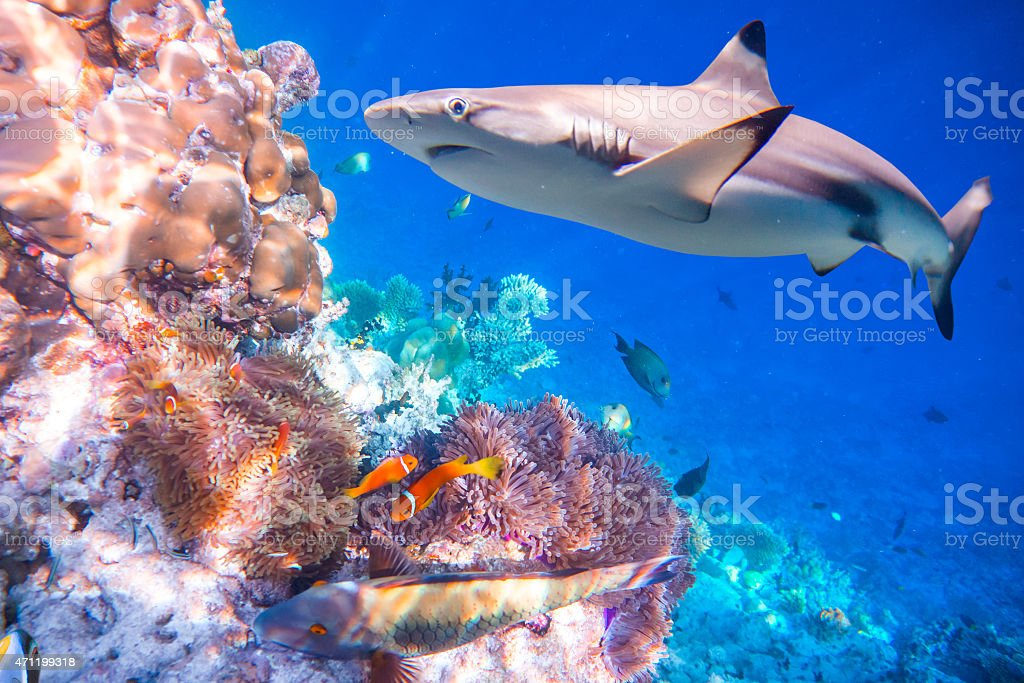 Great white shark navigating through a tropical coral reef stock photo