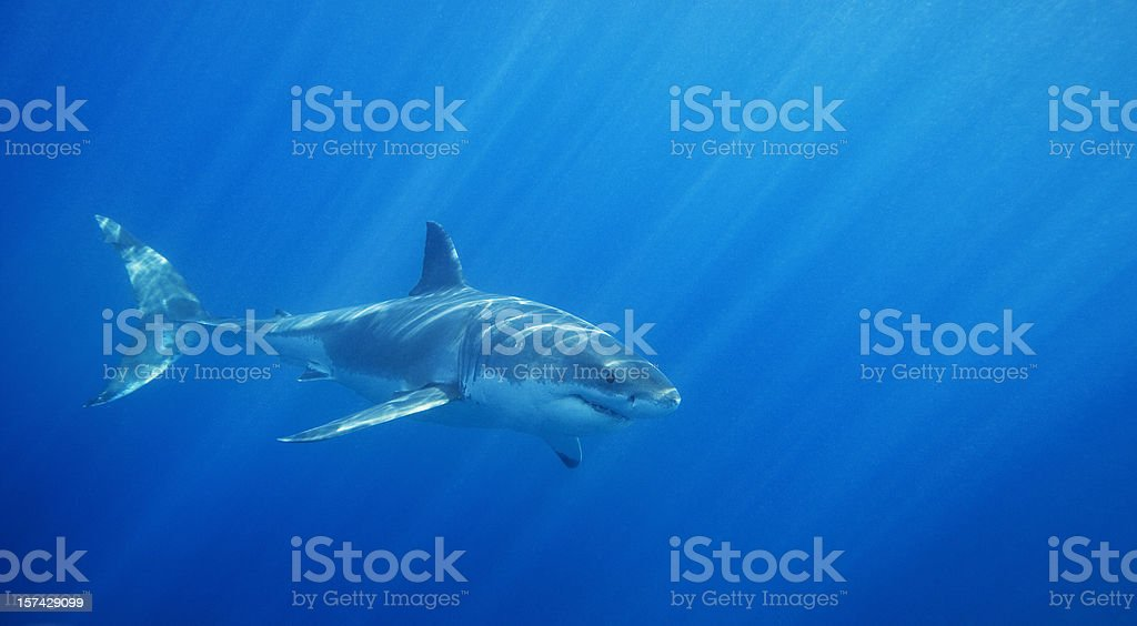 Great White Shark royalty-free stock photo
