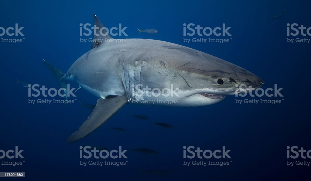 Great white shark swimming in the ocean stock photo