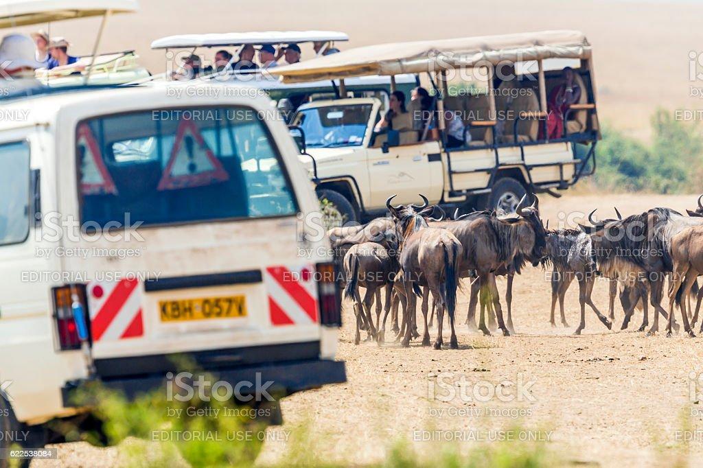 Great wildebeest migration in Kenya - waiting stock photo