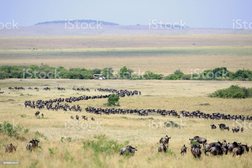 Great Wildebeest Migration in Kenya with Safari Vehicle stock photo