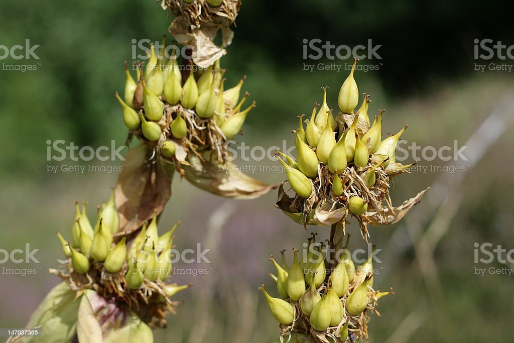 Great yellow gentian fruits stock photo