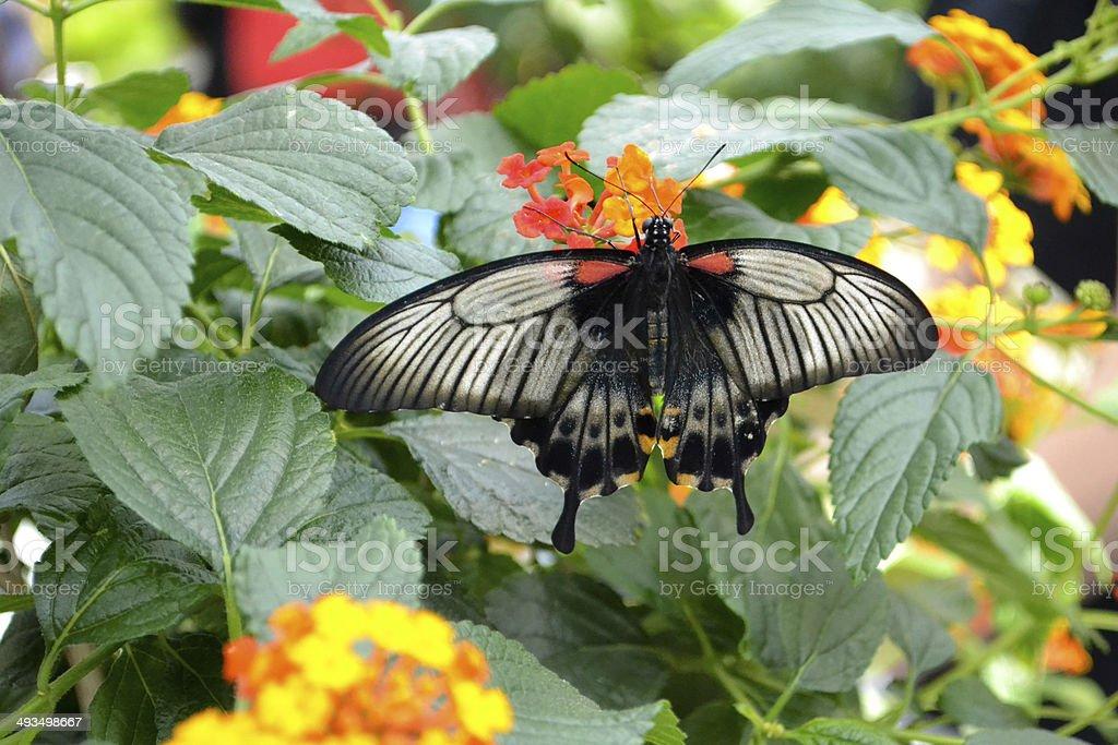 Gran amarillo mormón (Papilio lowi) foto de stock libre de derechos